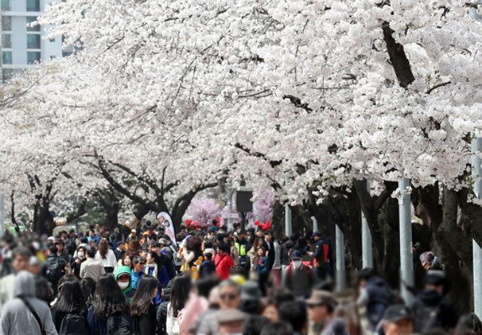 【愕然】ソメイヨシノ、韓国の桜に他の桜を接木して生まれたと判明wwwwwwwwwwwwのサムネイル画像