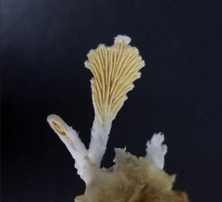 2000年前のキノコ、海底下2500メートルの地層で無事生きのこるのサムネイル画像