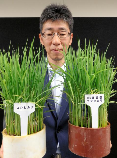 【驚愕】セシウム吸収抑える「コシヒカリ」開発 → 福島での導入目指すwwwwwwwwwwwwwwwwwwのサムネイル画像