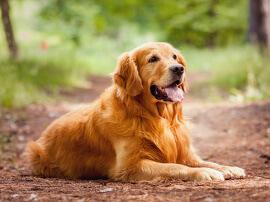 top_dog_golden