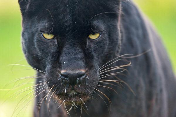 「150頭はいる」イギリス全土で野生の「黒ヒョウ」が多数出没wwwwwwwwのサムネイル画像