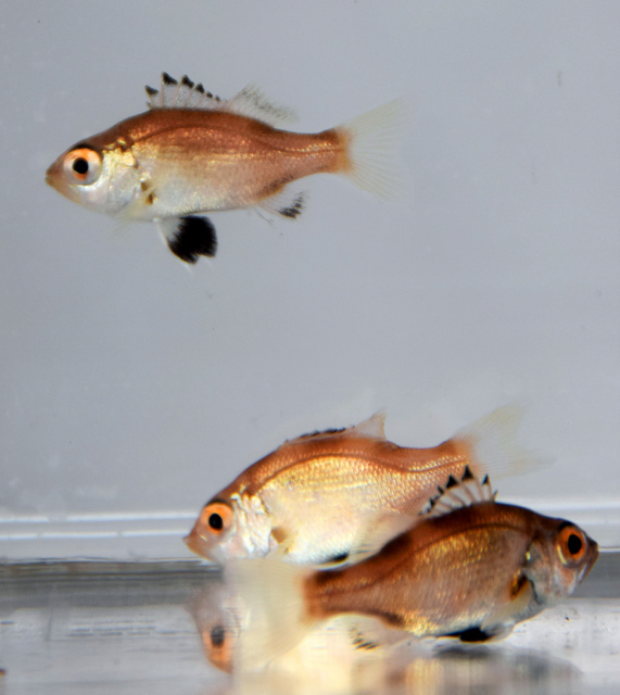 【朗報】高級魚ノドグロ、念願の本格放流 → 人工授精で育成に成功wwwwwwwwwwwwwwwwwwのサムネイル画像