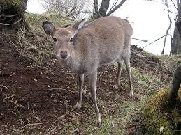 【青森県】森林被害を食い止めるため、ニホンジカ「全頭駆除」へ向け全力wwwwwwwwwwwwのサムネイル画像