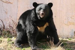 【朗報】クマに8回襲われ生還している研究者「死んだふり」は・・・のサムネイル画像