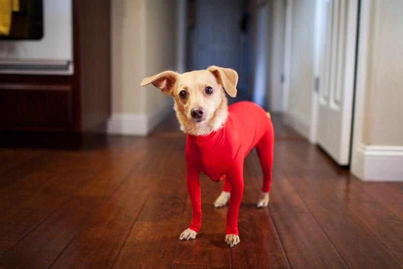 【画像あり】犬に全身タイツを着せてみたwwwwwwwwwwwwwwwwのサムネイル画像