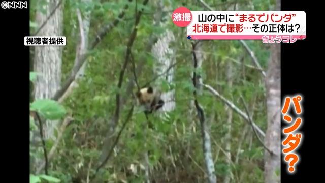 函館で野生のパンダ発見、ヒグマが進化した新種か?のサムネイル画像