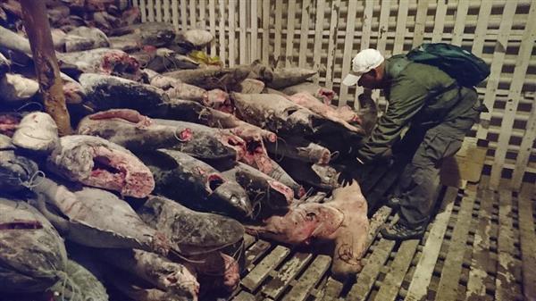 【衝撃】「地球全体への犯罪だ」中国の希少サメ密漁にエクアドルがブチ切れへwwwwwwwwwのサムネイル画像