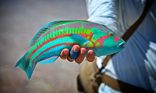 【画像15枚】美しい配色。カラフルすぎるお魚さんが発見される。のサムネイル画像