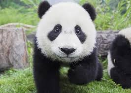 【政府】パンダ貸与を中国に要請!!→ 飼育施設の候補がこちらwwwwwwwwwwwのサムネイル画像
