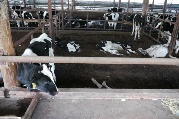 【閲覧注意】原発10キロ圏内、放置された牛たちの悲しき末路のサムネイル画像
