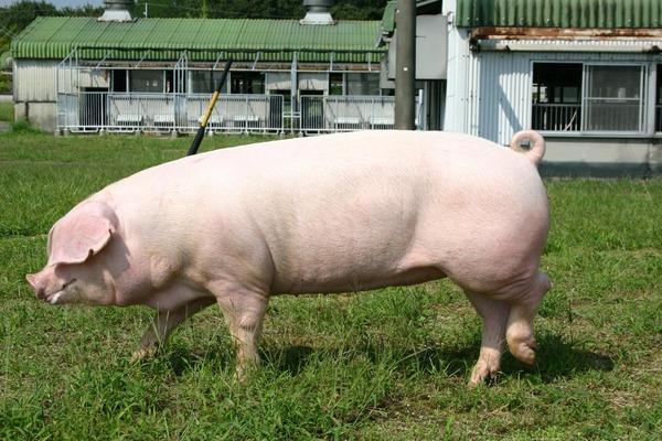 中国人「日本では豚を育ててから食べる授業をやる。残酷だ。」のサムネイル画像