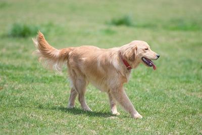 【八王子】10カ月の女児、飼い犬のゴールデンレトリバーにかまれ死亡のサムネイル画像