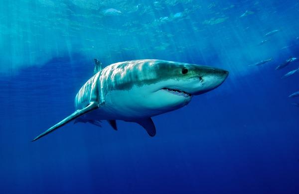 【衝撃映像】ダイバー「振り向いたら10mのサメがいた」動画が怖すぎる・・・のサムネイル画像