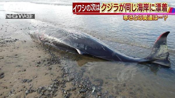 【青森】大量のイワシが漂着した海岸に今度は巨大生物が漂着・・・のサムネイル画像