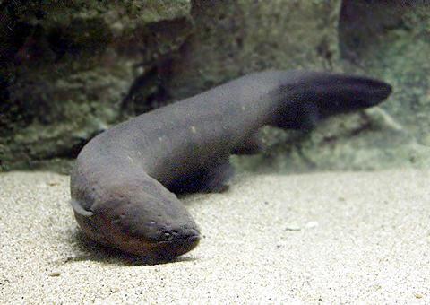【危険生物】危険な海の生物を集めた企画展 アマゾン川原産のデンキウナギ等を展示のサムネイル画像