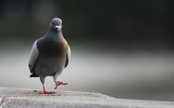 【悲報】ハトに餌やり男、傷害容疑で逮捕・・・のサムネイル画像