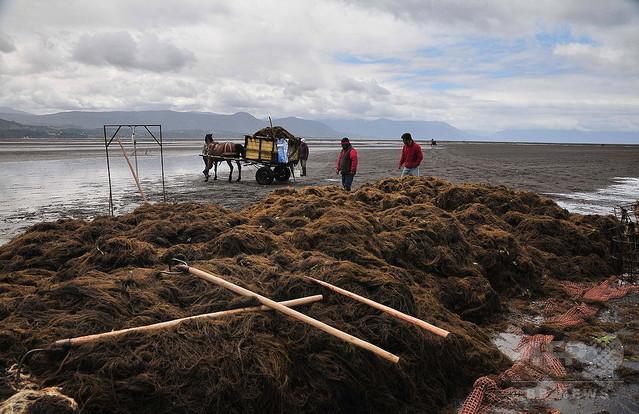"""外来種は""""悪""""ではなかった!日本の海藻が北米で生態系回復に一役のサムネイル画像"""