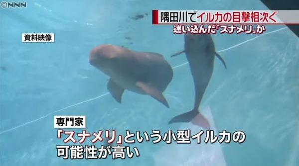 【衝撃】東京 隅田川でイルカの目撃情報が相次ぐwwwwwwwww