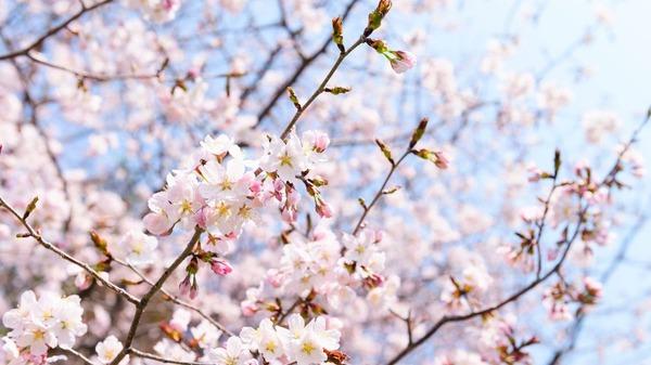 【朗報】東京で「桜」満開キタ━━━━(゚∀゚)━━━━!!のサムネイル画像