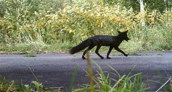 【画像】「犬だと思った」→ 黒いキツネでしたwwwwwwwwwwwwwwwwのサムネイル画像