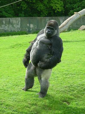 【動物】2本足で軽やかに歩くゴリラの珍しい映像が公開wwwwwwwwwのサムネイル画像
