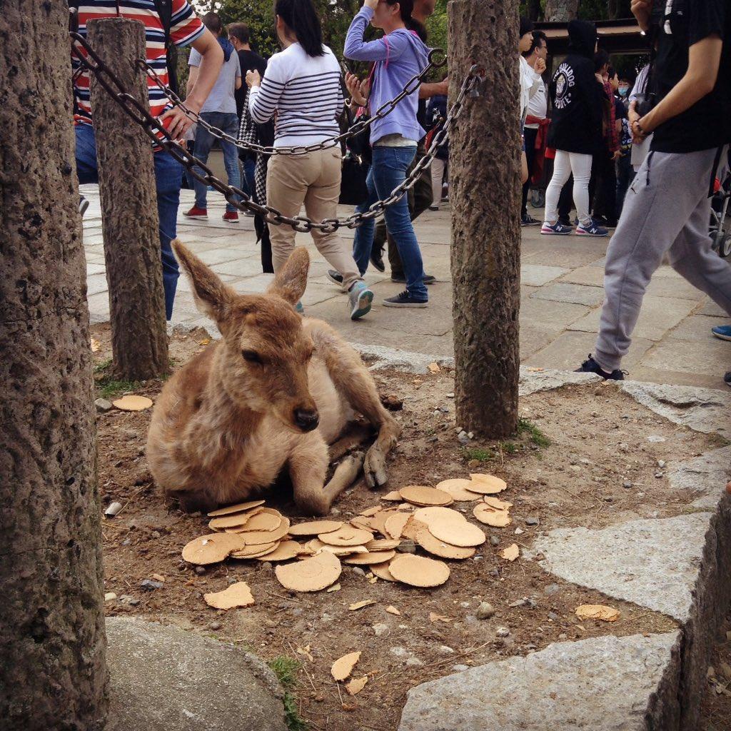 【画像】東大寺にて 人間「鹿せんべい食え」鹿「もう食えねえよ」のサムネイル画像