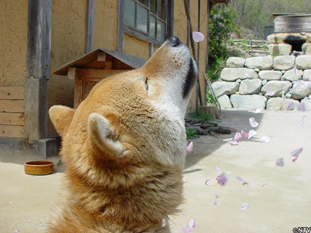 【訃報】鉄腕DASH、福島DASH村の北登、死去 → 16歳5か月の大往生・・・のサムネイル画像