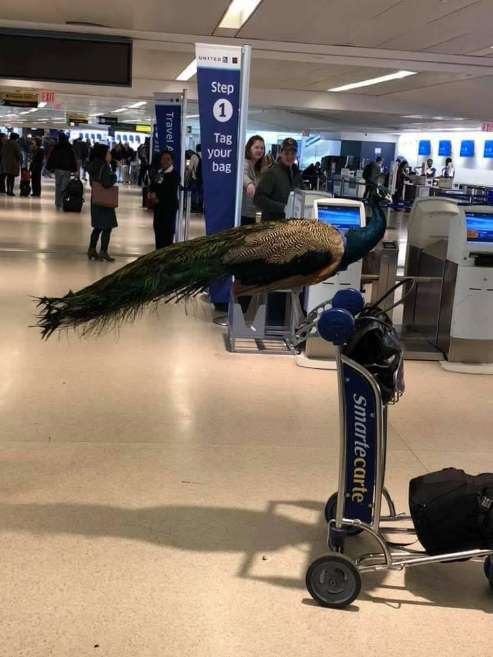 【悲報】女さん、空港に「クジャク」を連れて搭乗しようとしてしまうwwwwwwwwwwwwのサムネイル画像