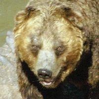 ヒグマに出くわしたらどうしたらいいのか?のサムネイル画像