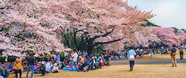 【緊急】中国人「日本に花見へ行こう!」→ 大量入国の模様wwwwwwwwwwwwのサムネイル画像
