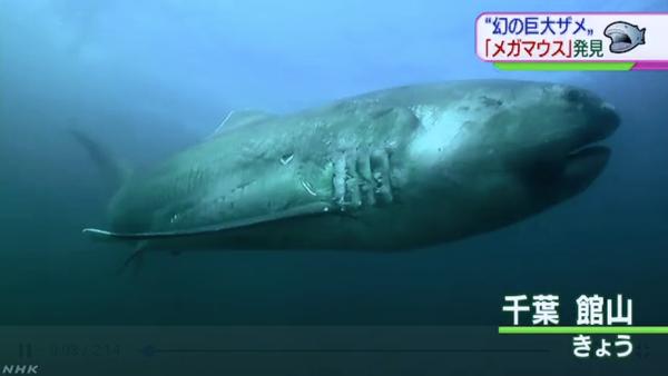 【驚愕】深海の巨大なサメ「メガマウス」が網にかかる → さかなクンさん大興奮へwwwwwwwwwwwwwwwwwwのサムネイル画像