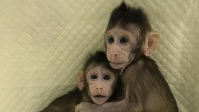 【衝撃】中国がついに「霊長類のクローン」に成功wwwwwwwwwwwwwwwwwのサムネイル画像