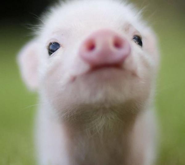 農場の火事から子豚を救出。半年後ソーセージとなり、消防士たちの元へ・・・・・・のサムネイル画像
