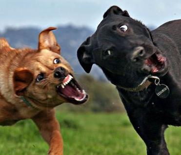 【動画】犬同士の喧嘩、いざゲートが開くとめっちゃ弱腰でワロタwwwwwwwwwwwwwwのサムネイル画像