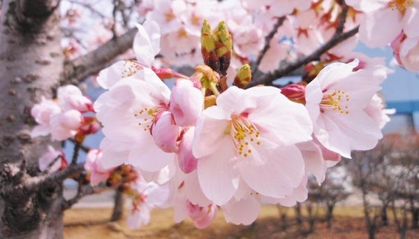 桜-thumb-675xauto-319