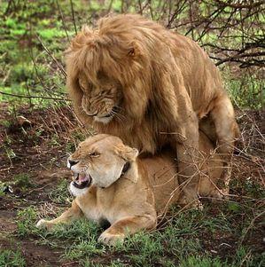 ライオンのSEX中(激しい)とSEX後(かわゆす)の落差がネットで話題にのサムネイル画像