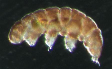 最強の生物「クマムシ」放射線からDNAを守る遺伝子を持っていると判明wwwwww 福島原発は任せた・・・のサムネイル画像