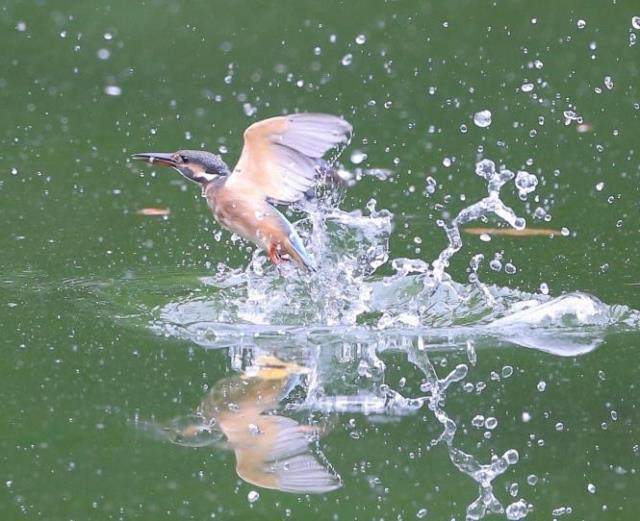 【テレ東】池の水を全部抜く→キレイになった池にカワセミが生息wwwwwwwのサムネイル画像