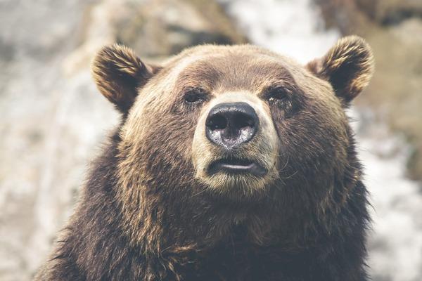 【悲報】クマが体当たりで車のバンパー大破wwwwww → 衝撃で5メートル吹き飛ぶ・・・のサムネイル画像