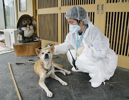 【画像あり】原発3キロ圏内の犬、玄関の前で見つかる・・・のサムネイル画像