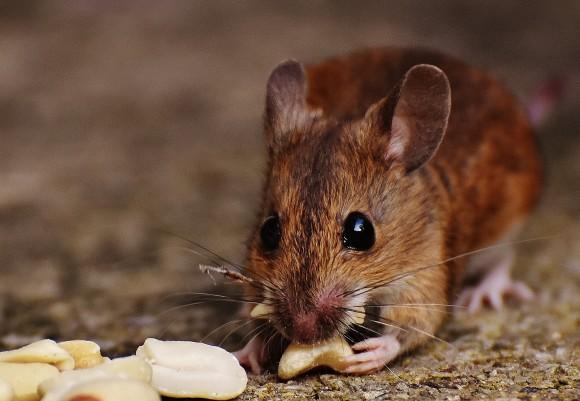 【悲報】殺鼠剤が効かない突然変異のネズミが発見される・・・のサムネイル画像