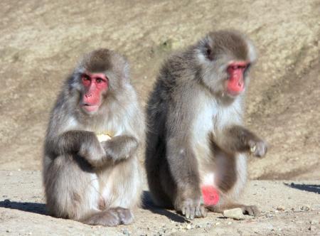 千葉「動物園で飼っていた猿。よくよく調べてみたらニホンザルじゃなかったわ。殺処分したよー(^^」のサムネイル画像