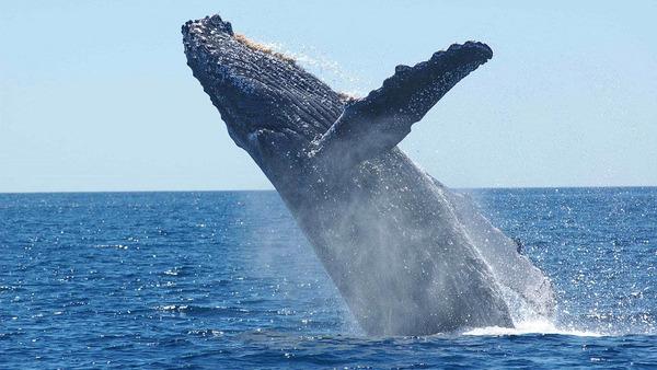 中国メディア「日本が捕鯨に執着してるの意味不明なんだがwwwwwwwww」のサムネイル画像