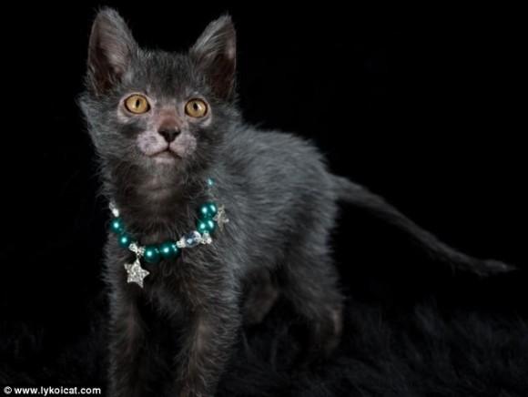 【遂に!!】 ネコに新たなる品種 「リュコイ」 が誕生! 男前すぎワロタwwwww (画像あり)のサムネイル画像