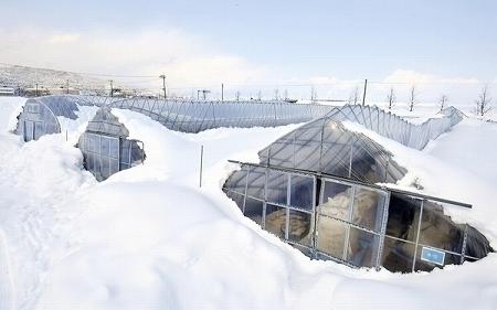【福井】大雪でビニールハウス倒壊 → 農家「破産や」 のサムネイル画像