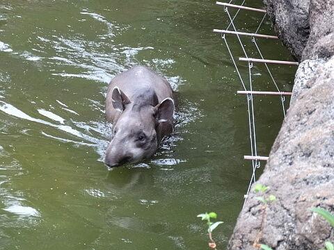 上野動物園「学校に行きたくないと悩んでいるみなさん、アメリカバクは敵から逃げるとき一目散に水の中に飛び込みます」のサムネイル画像