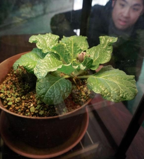 【有毒】伝説の植物「マンドラゴラ」展示 wwwwwwのサムネイル画像
