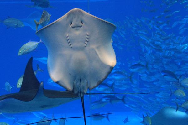 【動画】八景島シーパラダイスのエイが展示のアオリイカを捕食する事故発生www客は悲鳴を上げるwのサムネイル画像