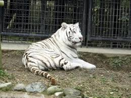【驚愕】飼育員がホワイトタイガーに襲われる事故、衝撃の事実が判明・・・・のサムネイル画像