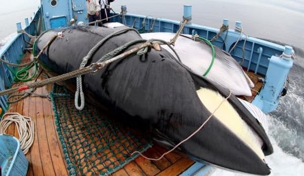 "【騒然】日本の捕鯨再開に""あの国""の民が激怒!!!→結果wwwwwwwwwwwwwwwwwwwwwのサムネイル画像"